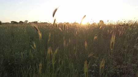 çimenli : Sunset at meadow between expanse of ears beaten by the wind