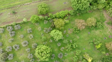 biológiai : Awesome top view of drone flies above countryside with foliage of fruit trees and grazing sheep