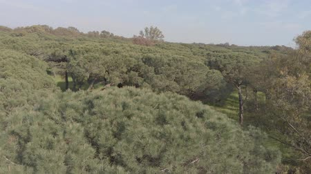 cam : Drone aerial view above the wonderful Mediterranean scrub of domestic pines