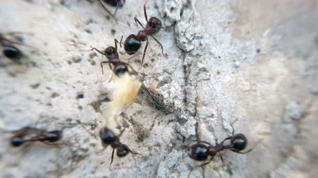 omurgasız : Animal macro wilderness footage: many ants eating bread and insect and carry food