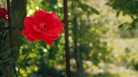 rosário : Single red rose against the background of green leaves. Red rose blooming in the garden. Rose with red petals blossoms, close up. Flower blooming at summer. Blurred background, soft selective focus Vídeos