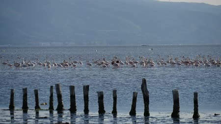 influenzy : Group of Flamingo Birds feeding at in the Aegean sea in the city of izmir, Turkey.
