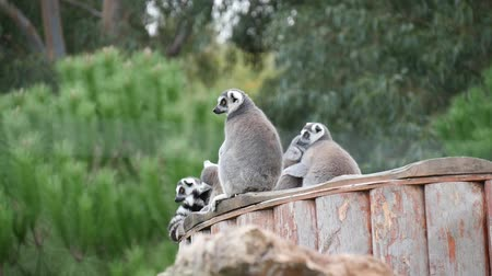 madagaskar : Cute Lemur Family At Zoo.