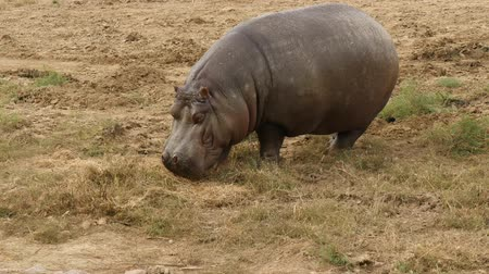 white rhino : hippopotamus eating