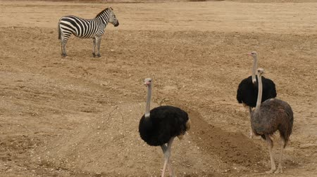 avestruz : Group of ostrich and zebra in the nature.