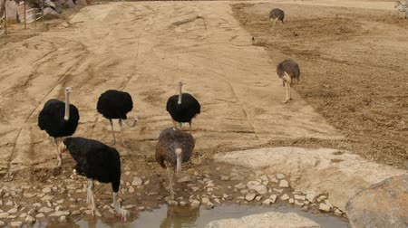 avestruz : Group of ostrich, drinking water from a stream