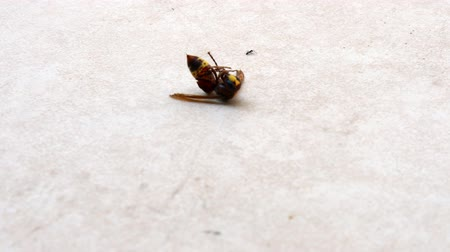 honeybee : Dead Bee and Ant walking around.