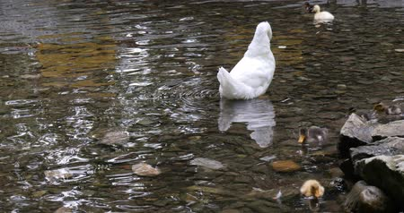 kiskacsa : White duck clean their feathers on the pond. Ducklings swim in the water. Stock mozgókép