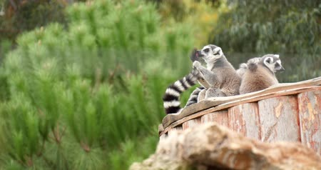 навес : Ring-tailed lemur cleaning her tail in the outdoor.