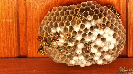 arı kovanı : Closeup of wasps communication with other wasps in the hive. Stok Video