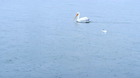 エーゲ : A one Pelican swimming and seagull landing to the sea