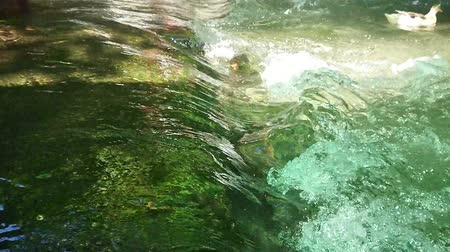 pato real : Duck swimming in the small river with little waterfall. Super slow motion.
