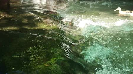 pato real : Duck swimming with water splashing from waterfall super slow motion.