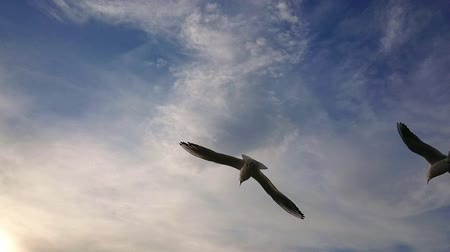 aves marinhas : Seagull flying in the blue sky super slow motion.