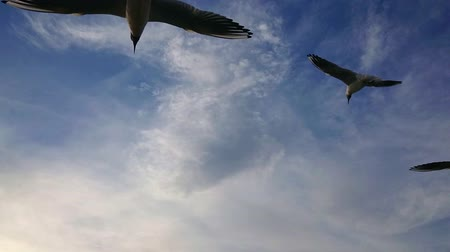 aves marinhas : Seagulls flying in the blue sky super slow motion.