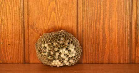 honey comb : Working wasps on wasp hive closeup time lapse footage.