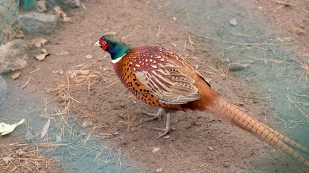 kismadár : Colorful beautiful bird - pheasant, captive behind bars in zoo