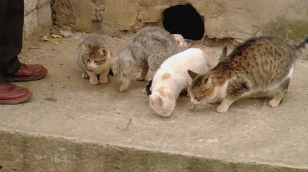 tehlike : Man feeds homeless cats. Hard life of disadvantaged animals in the city. Stok Video