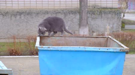 litter box : British cat on an iron garbage can. Searches for food Stock Footage