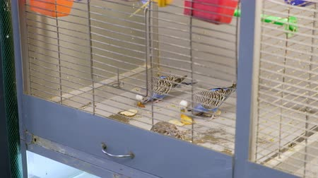 bico : Colorful Budgerigar parrots in the cage. Budgie parakeet in birdcage. Birds eat food