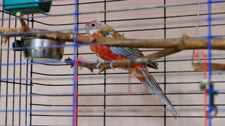 kismadár : Parrot inside cage. Red and blue bird in the cage