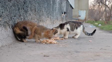 ter cuidado : Homeless Cats Eats Food on the Street of Town.