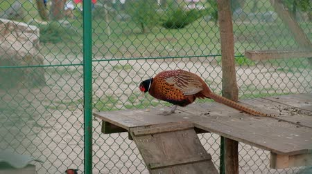 zoolojik : Colorful beautiful bird eating food in the cage. Pheasant, captive behind bars in zoo. Stok Video