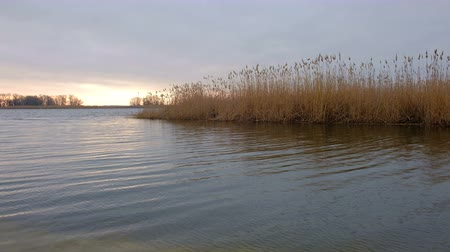 kamış : View of river with reeds and tall trees during windy day. Beautiful landscape with a lake in the morning time Stok Video