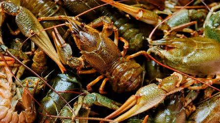 Description: Live fresh crayfish close-up. Seafood background. 4k video