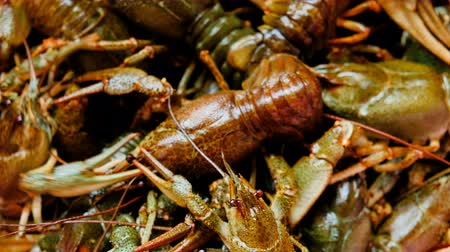 alga : Description: Live fresh crayfish close-up. Seafood background. 4k video