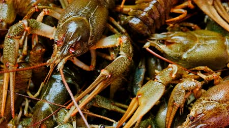 shrimp : Description: Live fresh crayfish close-up. Seafood background. 4k video