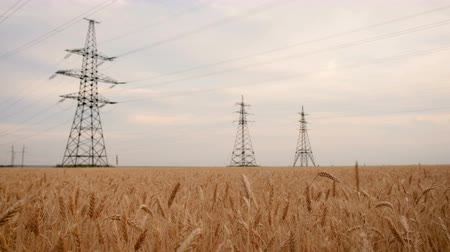 sklizeň : Agricultural Field. Yellow Wheat And Power Lines