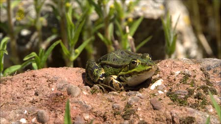 rana : Pond frog (Pelophylax esculentus, Rana esculenta), water frog, basks on a stone at the garden pond Stock Footage