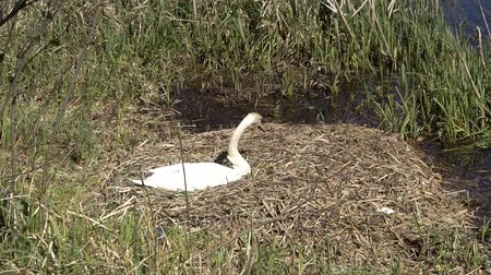 swamps : Mute Swan (Cygnus olor), at Brundlund Castle on the nest, breeding