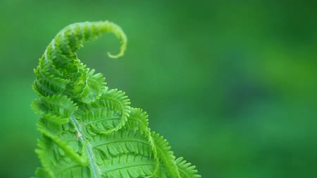 kapradina : acro video of fresh young curled fern swinging on the wind