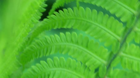 Macro video of fresh bright fern leaves swinging on the wind in the forest Stock mozgókép
