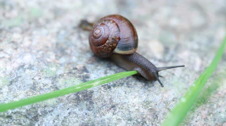 Small wild snail crawling on gray stone with green grass on the wind Stock mozgókép