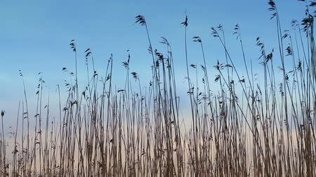 Nature background. Dry coastal reed silhouettes swaying in the wind above dark sky Stock mozgókép