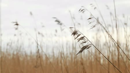 Nature background. Dry coastal reed swaying in the wind