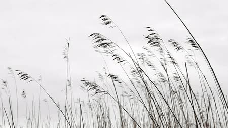 Nature background. Dry coastal reed silhouettes swaying in the wind Stock mozgókép