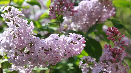 Nature summer background with branch of fresh lilac flowers on the wind