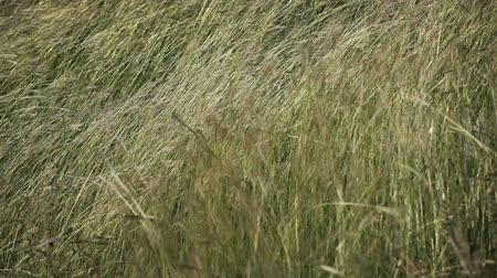Wild grass waving on strong wind