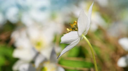 Anemone nemorosa. White flowers waving on wind in European spring forest close up video with selective focus