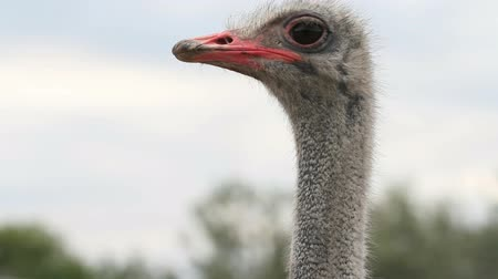 hloupý : Ostrich sleeping and waking up