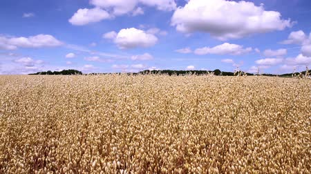 owies : Oat field in anticipation of maturation (Denée, Belgium).