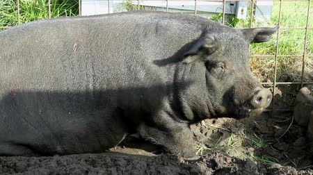 svině : Pig eats on a small farm in Holland .