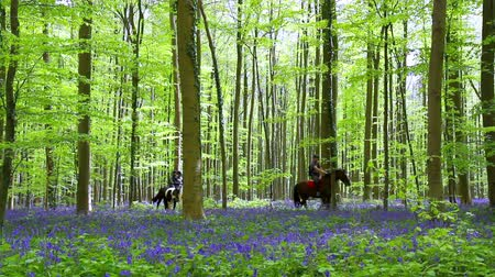 springtime : Riders in Halle Forest, a mystical forest in Belgium. Stock Footage