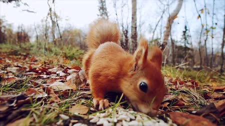 hackee : Squirrel red fur funny eating seeds autumn forest on background wild nature animal thematic (Sciurus vulgaris, rodent)