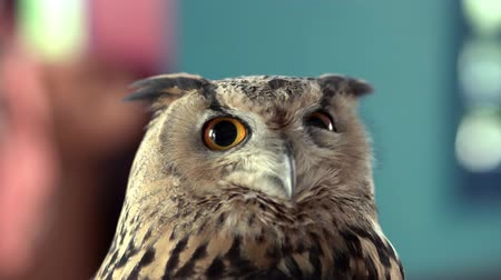 musgo : Beautiful Owl close up. Owl eyes. Background.