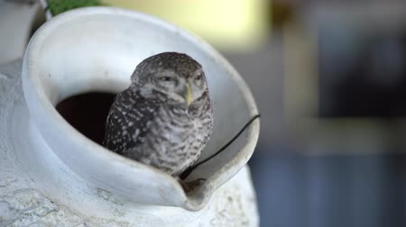 an owl that lives in a jug in a cafe. Thailand, Pattaya.